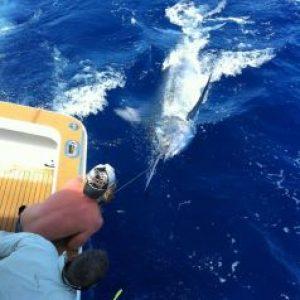 1,100 lbs Black Marlin for Moana III