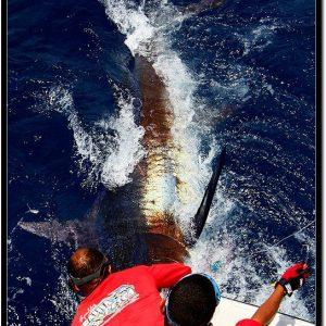 Grander Blue Marlin for Capt. Tuba on the Wahoo