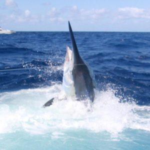 1,100 lbs. Black Marlin for Iona II