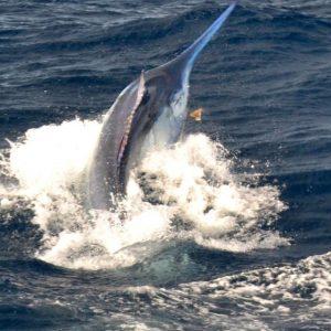 Grander Black Marlin for Calypso