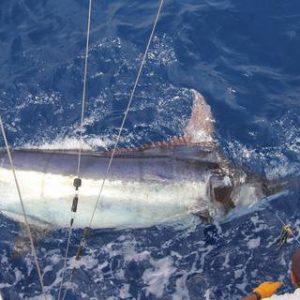 1,000+ Blue Marlin on IBO