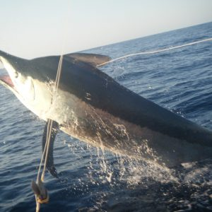1,000 lbs. Black Marlin on Chamois Free - Photo Bonnie Rylands