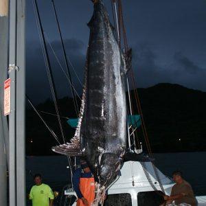 1,150+ Blue Marlin for Capt. Kenny Risso